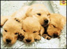 newborn puppies, very young Golden Retriever puppies