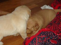 orphaned puppy, young Golden Retriever puppies