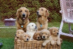weaning puppies, Golden Retriever family