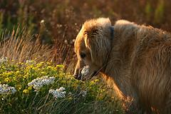Mating Dogs, Golden Retriever smelling flowers