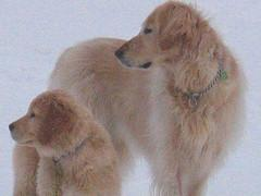 An older and younger Golden Retriever posing in the snow