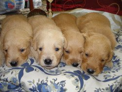 newborn puppies, 4 week old Golden Retriever puppies