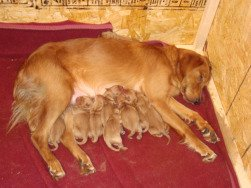 newborn puppies, Golden Retriever nursing her puppies