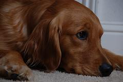 Dog ear infection and problems to watch for! Ear Mites In Golden Retrievers