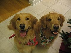 teaching sit, 2 Golden Retrievers sitting and waiting for a treat