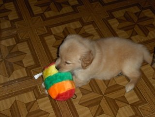 puppy milk, Golden Retriever pup at 6 weeks of age