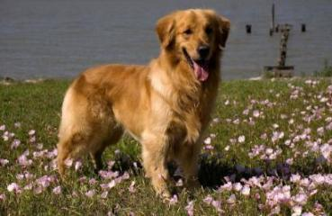 puppy jumping up, beautiful Golden Retriever standing in field of flowers