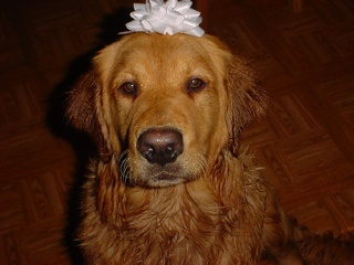 Golden Retriever dog memorial; picture of Jolly