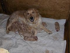 Milk Fever, Golden Retriever nursing litter of puppies
