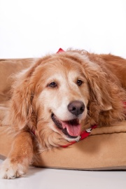 Golden Retriever life span; aging female Golden Retriever