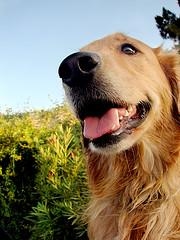 beautiful Golden Retriever smiling
