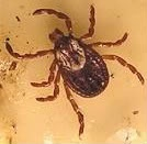 types of ticks, American Dog Tick photo
