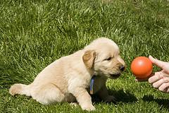 choosing a puppy, Golden Retriever puppy looking at a ball