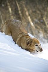 canine pregnancy, Golden Retriever playing in the snow
