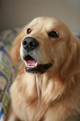 beautiful Golden Retriever smiling for camera