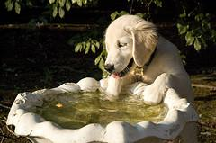 can fleas live on people, Golden Retriever puppy playing in a bird bath