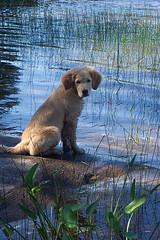 choosing a puppy, older Golden Retriever puppy sitting by pond