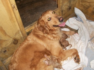 puppy care, Golden Retriever nursing her newborn puppies