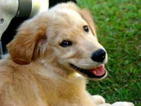 puppy chewing, older Golden Retriever puppy smiling