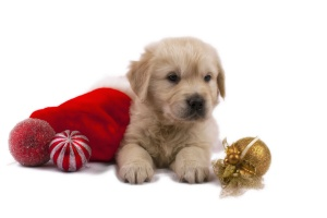 Golden Retriever puppy with Christmas ornaments