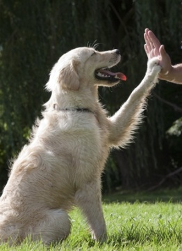 Golden Retriever giving high 5