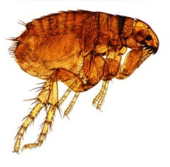 pictures of fleas, drawing of a flea
