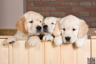 Golden Retriever colors; 3 young Golden puppies