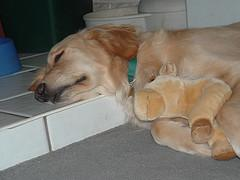 dog worms, Golden Retriever puppy sleeping with soft toy