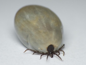pictures of ticks, an engorged tick
