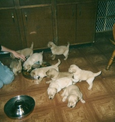 puppies learning to eat puppy food
