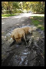 dog bath; Golden Retriever covered in mud and playing in mud puddle