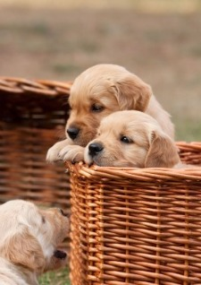 Golden Retriever puppies peeking out of a basket