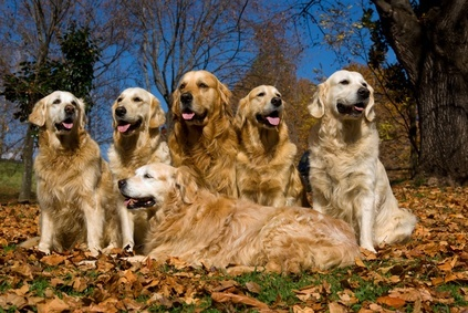 A range of Golden Retriever colors