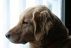 Dog Pregnancy Symptoms, Golden Retriever waiting at window