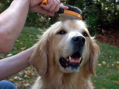 grooming dogs, Golden Retriever being brushed