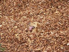 breeding dogs, Golden Retriever blended in the fall leaves