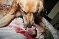 whelping puppies, Golden Retriever cleaning placenta from puppy