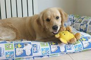 light colored Golden Retriever laying on couch with toy