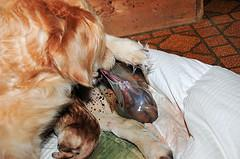 whelping puppies, Golden Retriever opening membrane sac on puppy