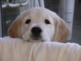 scared dog; young Golden Retriever puppy looking over couch