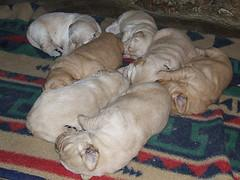 Dog breeding cycle. Golden Retriever puppies sleeping