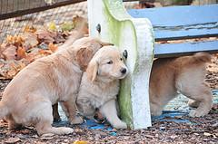 Dog Mating, Golden Retriever puppies playing under bench