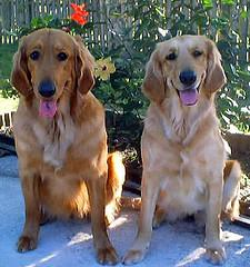 killing fleas, 2 Golden Retrievers waiting for a snack