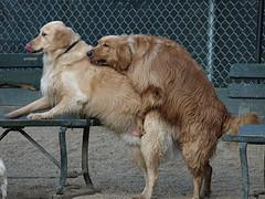 dog breeding process, Golden Retrievers mating