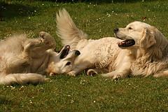 Dog breeding. Golden Retriever's playing
