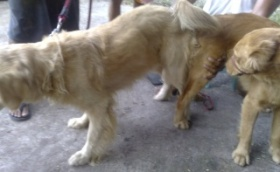 dog breeding, 2 Golden Retrievers tied during mating