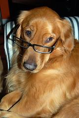 Dog breeding cycle. Golden Retriever wearing glasses