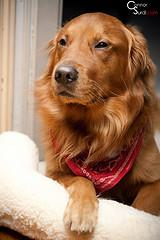 dog labor, Golden Retriever wearing red bandana