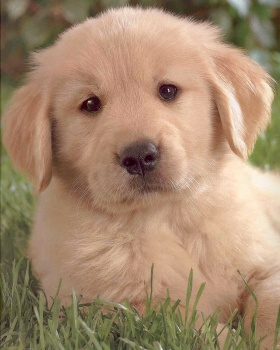 gorgeous Golden Retriever puppy laying in grass
