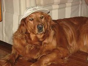 Golden Retriever wearing hat